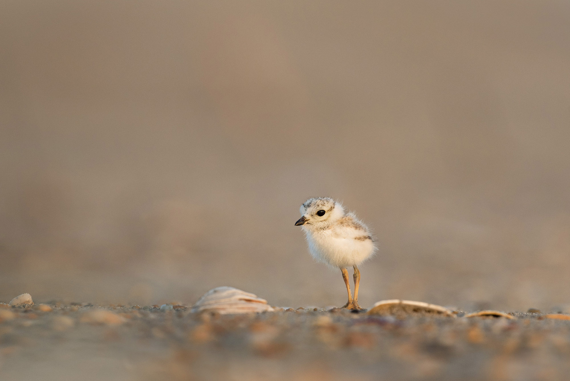 My first time ever seeing and photographing a Piping Plover chick was an amazing experience. My friend and I got very lucky with our timing and the tiny chicks were running all over the beach. We must have seen at least a dozen of these tiny little speed demons. It almost made me laugh every time they were on the move with how fast they ran. Thankfully they would stop once in a while which would allow a photo. The tiny birds were also very cooperative as far as getting close to the camera. Many times I would pick a spot to lay down and they would actually walk right towards me. This photo was earlier in the morning just after the rising sun had cleared a bank of clouds on the horizon, the warm soft light was perfect for this tiny chick. Taken at Sandy Hook in Highlands, New Jersey.
